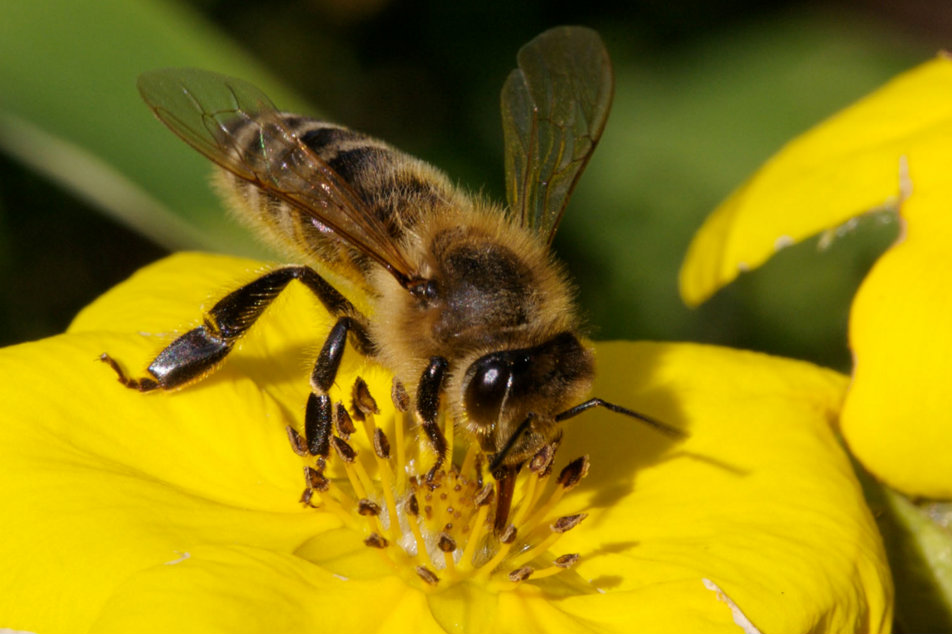 Baldness cure bees - صورة 2